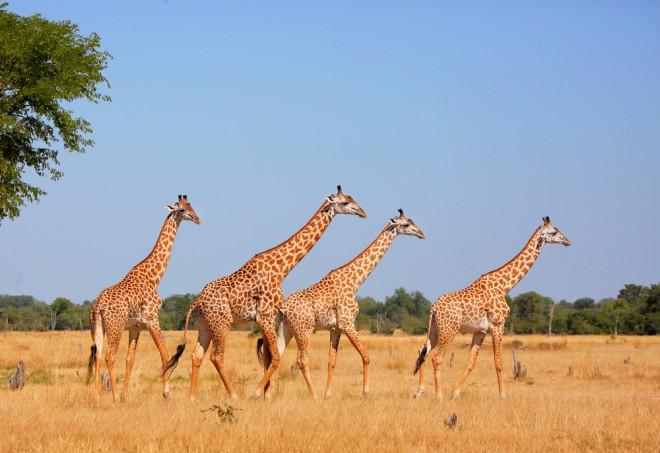 Žirafe so na vojnih območjih vir hrane za ljudi (Foto: Shutterstock)