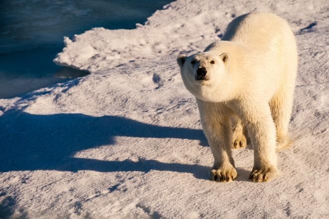 Na Severnem tečaju ne živijo le polarni medvedi ...