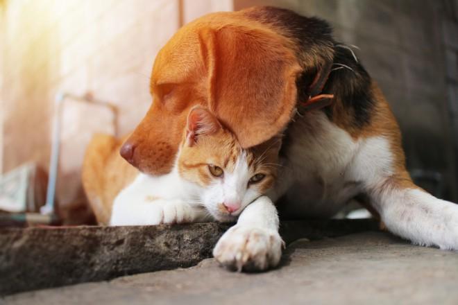 """Angleški brak (""""beagle"""")"""