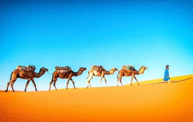 Kamele lahko svoj nos v celoti zamašijo.