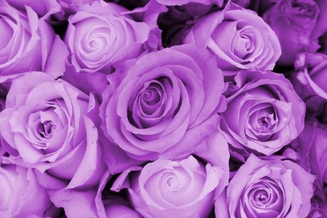 Vijolične vrtnice