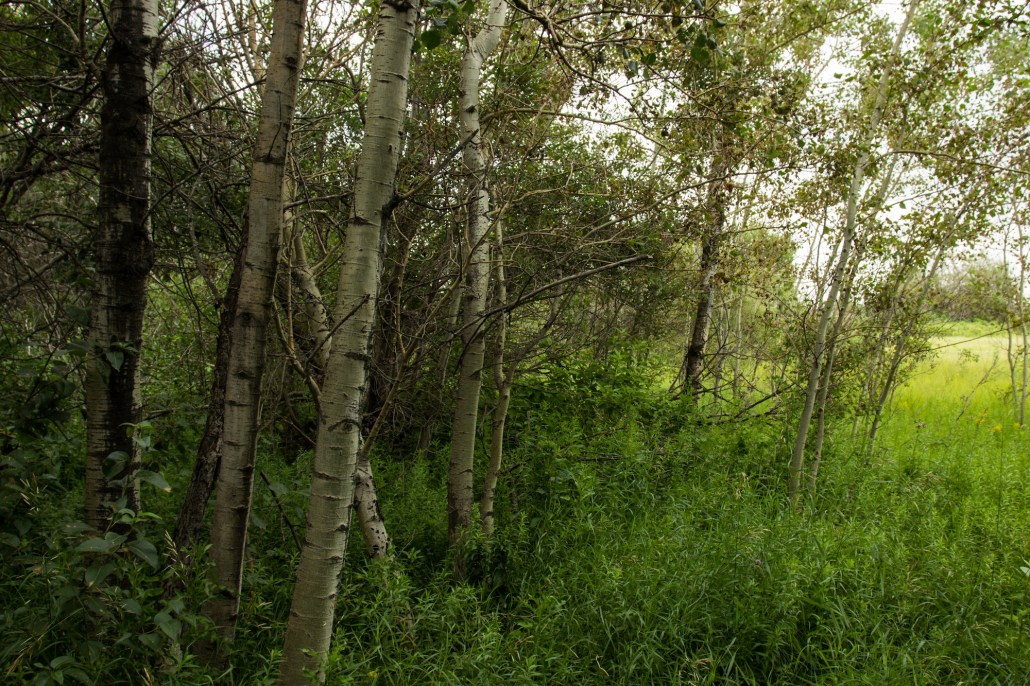 Aspens at the boarders of Mill Woods. Photo by Christina Hardie