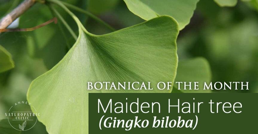 Gingko biloba benefits   Annex Naturopathic Clinic   Toronto Naturopathic Doctors