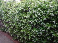 Summer... Trachelospermum jasminoides