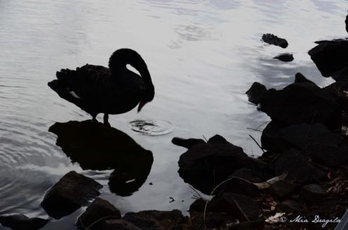Swans in Lake Burley Griffin