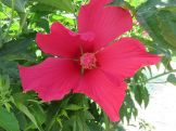 "Hibiscus ""Southern Belle""... thrives in very wet ground although it will grow well in hard ground with little watering."