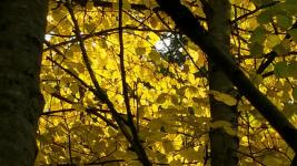light-through-limes-bendora-arboretum-_1