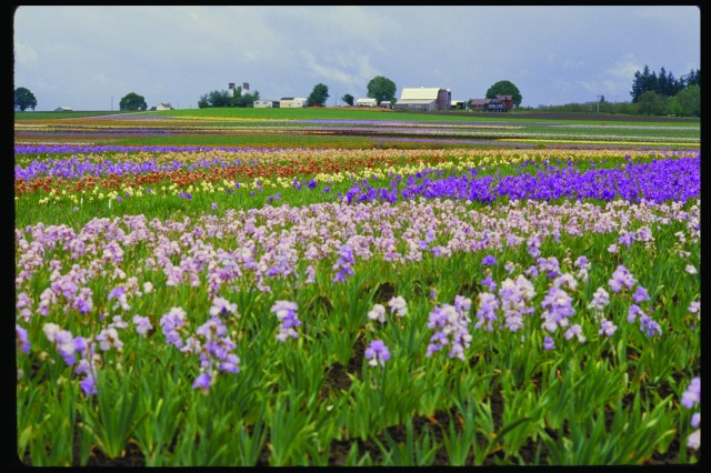 Many thousands of Irises (Flickr: Oregon Department of Agriculture)