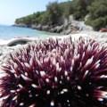 violet sea urchin, Uvala Rapak