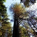 hundred-year old trees