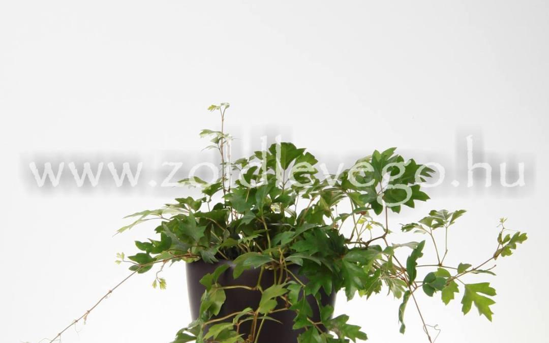 Cissus capensis – Kúszóka
