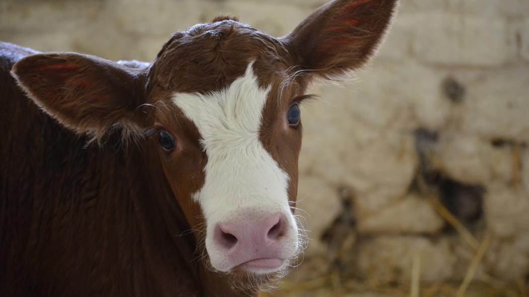 insegnare-alle-mucche-a-usare-la-toilette-e-piu-utile-di-quanto-pensiamo