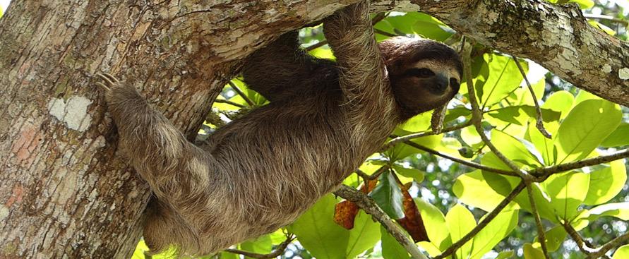 quando-i-bradipi-erano-anche-carnivori
