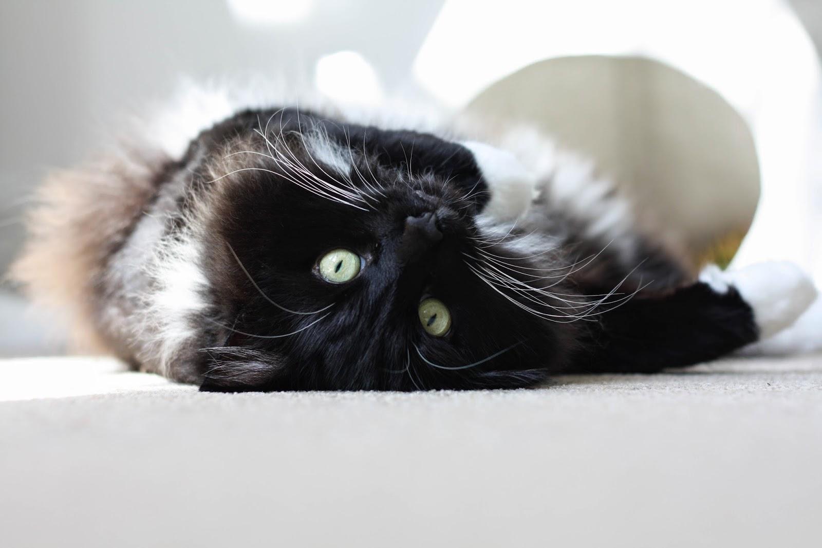 Cat tipi