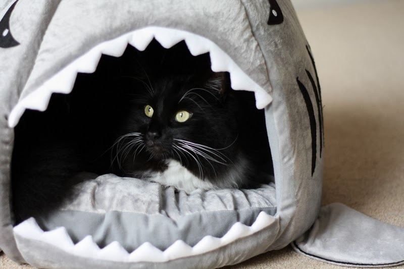 Cookie & his new cat shark bed