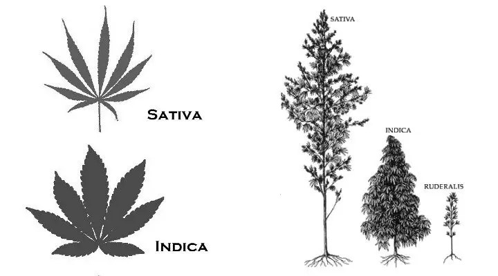 Types of Cannabis