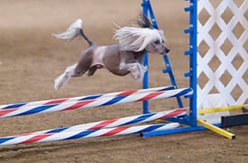 A hairless Chinese Crested taking part in an agility competition. Creative Commons