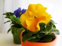 yellowpansy