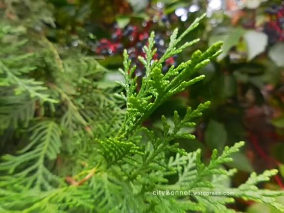 evergreenleaves