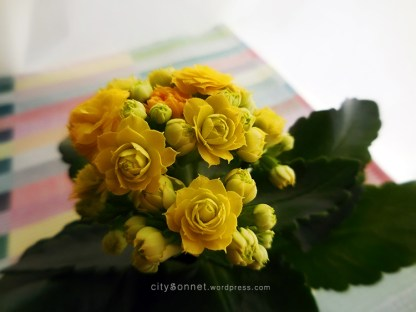 flowerkalanchoe