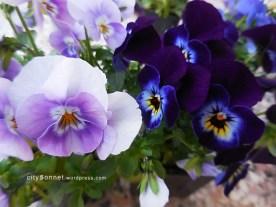 bluesviolas