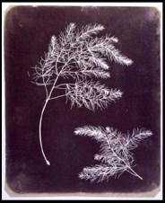 1834_william-fox-talbot_vegetal-serie_02