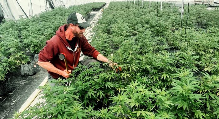 hemp farmer working at GroHubFarm tending hemp plants