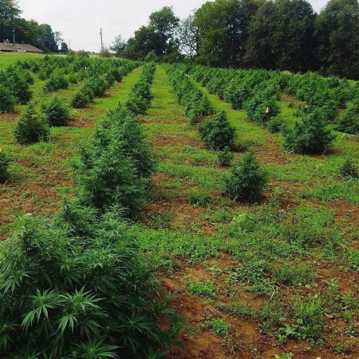 Hemp growing at Dan Grossen's farm, also known as GroHubFarm