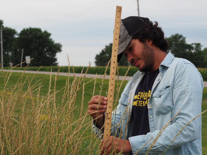 Measuring the height of a Kernza crop.