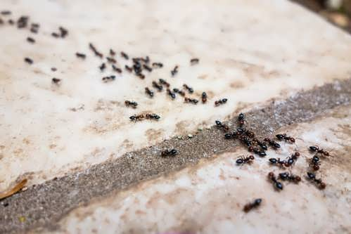 Pavement Ants, The workers are more of a nuisance pest.