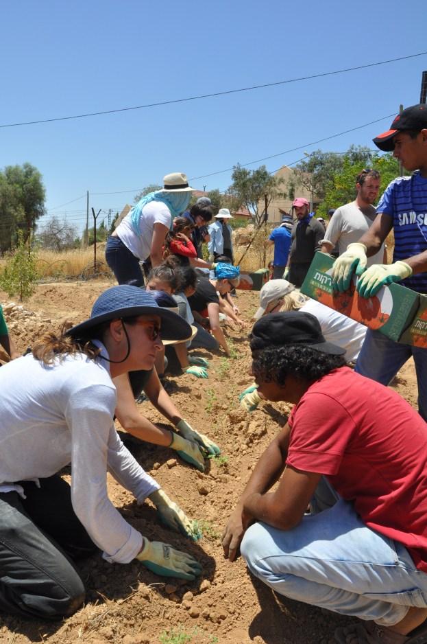 Planting Za'atar in Umm Al-Khair