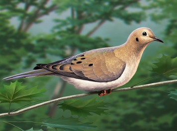 Illustration of a mourning dove.