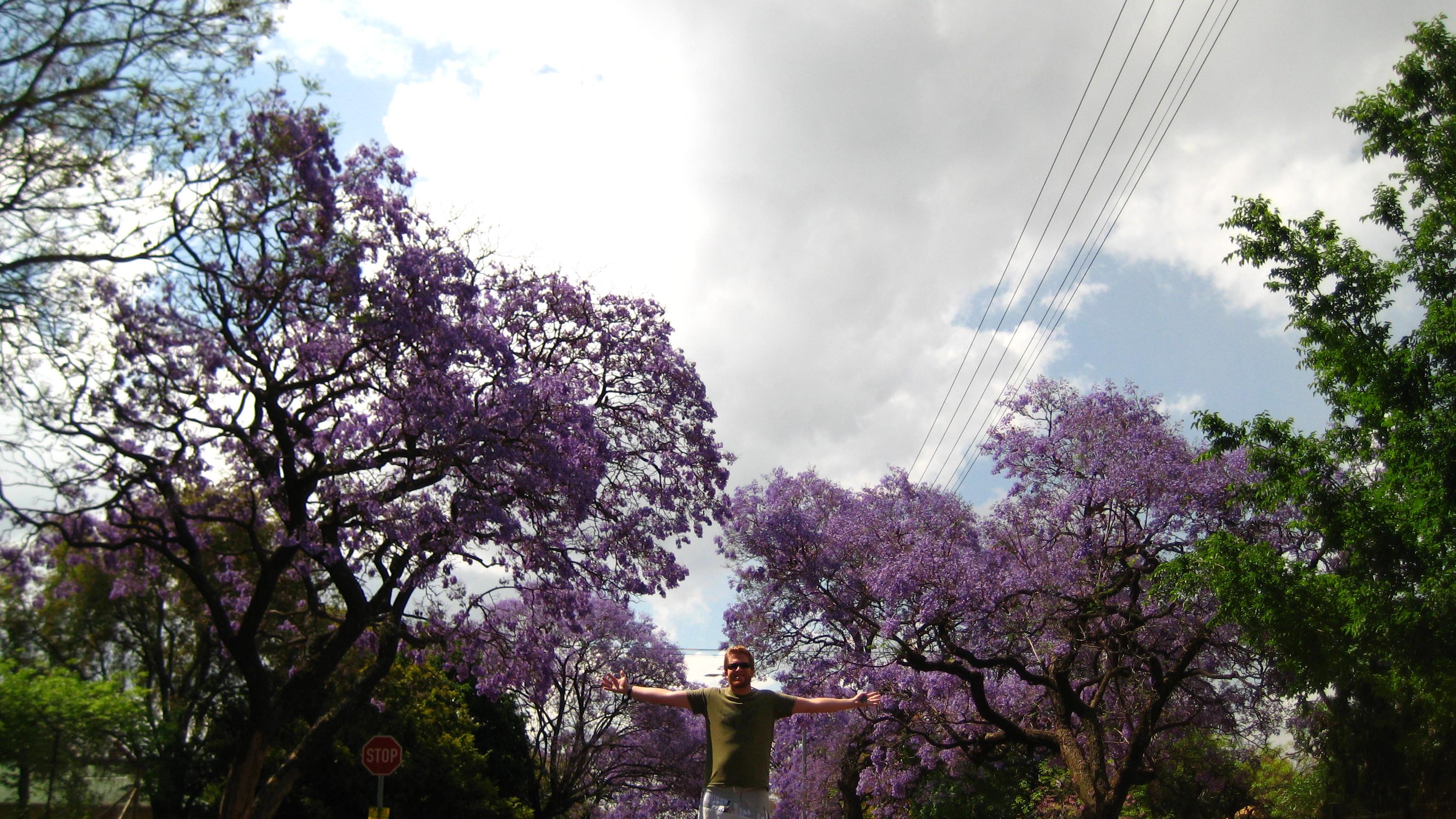 I live in a world raining purple.  Pretoria, every October.