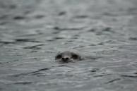 Habor Seal