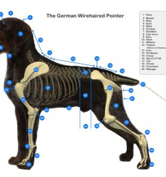 gwp diagram claddagh german wirehaired pointersdog withers diagram 18 [ 1643 x 1160 Pixel ]
