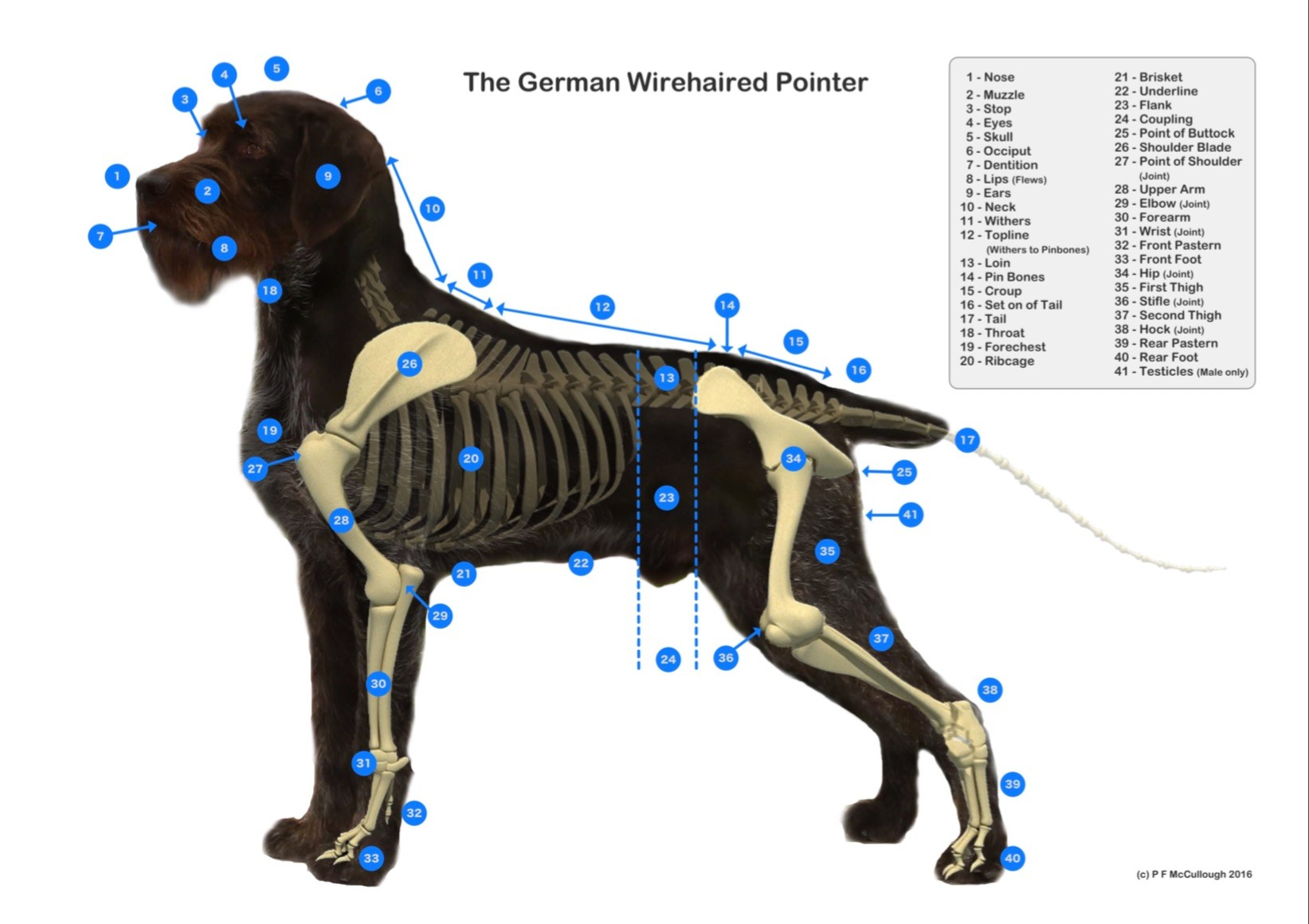 hight resolution of gwp diagram claddagh german wirehaired pointersdog withers diagram 18