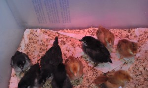 our chicks on Mar 11 2012