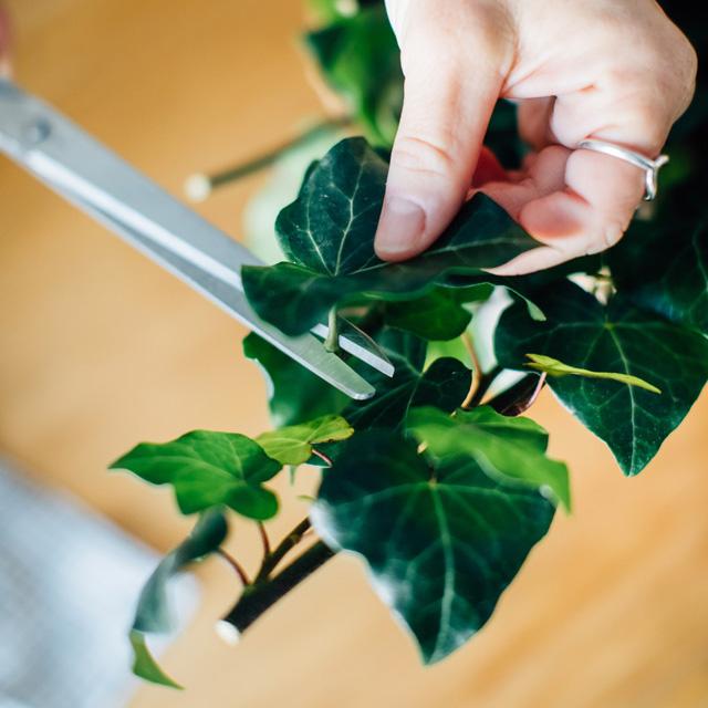 Découpe des feuilles de lierre