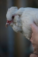 This is Betty a white Araucana hen cross, she lays the most beautiful olive green eggs.