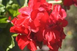 What cottage garden would be without geraniums. These newer varieties are far more hardy in the humidity than some of the older ones.