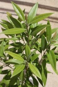 Backhousia citriodora Leaves