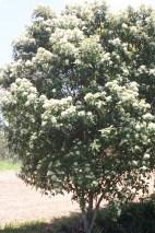 Backhousia citriodora makes a wonderful native hedging plant