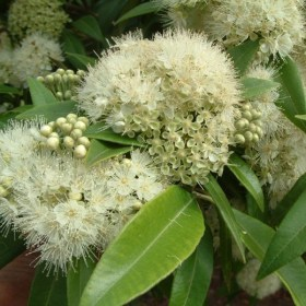 Lemon Scented myrtle flower are very attractive to butterflies and bees due to their high nectar content.