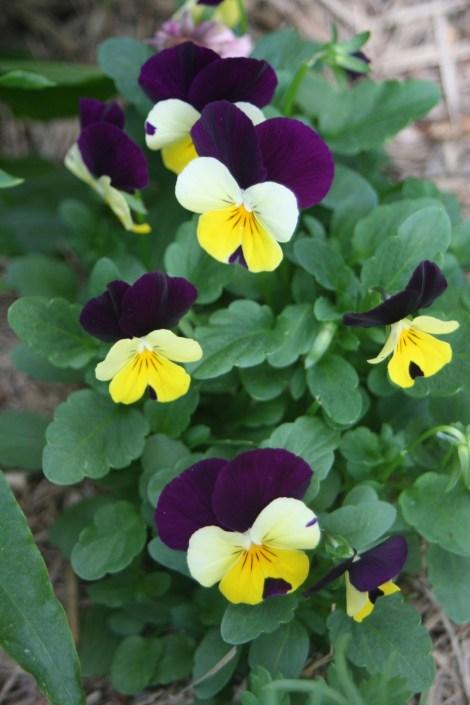 Pansies (violas) in flower
