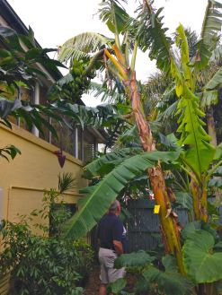 Banana in Brisbane garden
