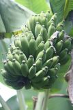 Ripening bunch of bananas