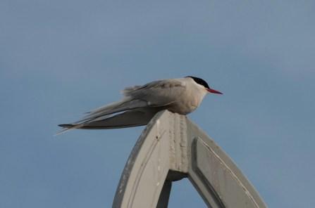 Arctic (?) Tern