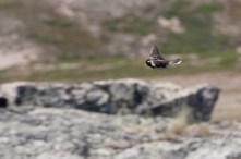 Breeding display behaviour. Male Lapland Longspur.
