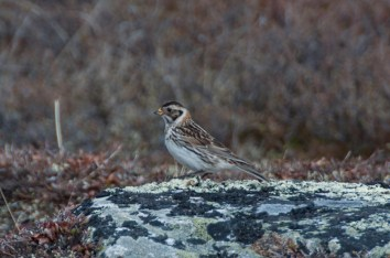 Female Lapland Longspur.