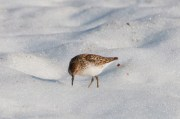 Least Sandpiper foraging in the snow.